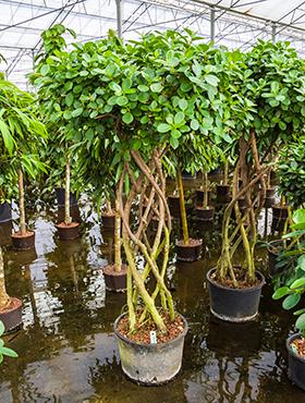 Ausgefallene pflanzen rarit ten an pflanzen for Ausgefallene zimmerpflanzen