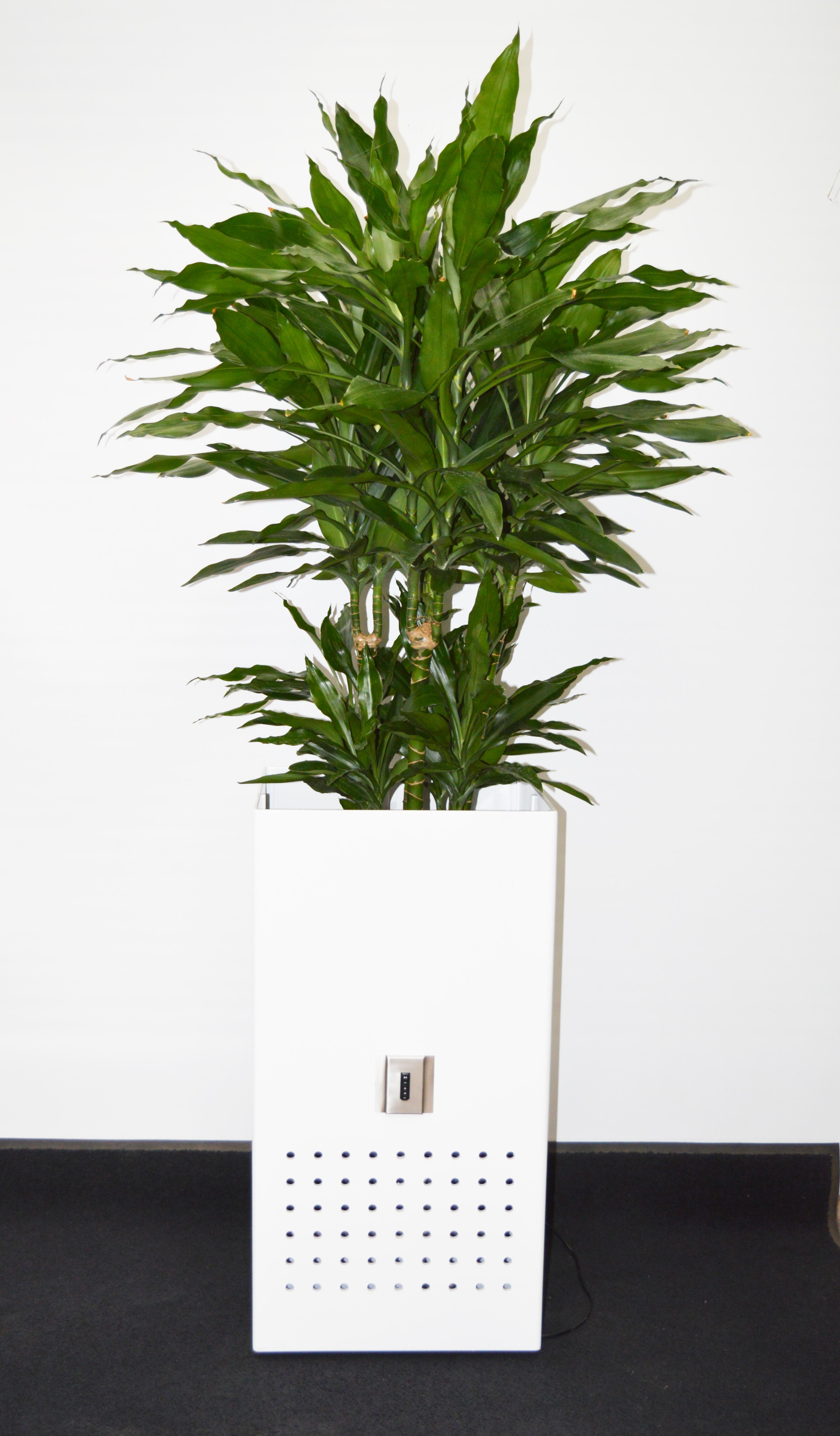 MM Box weiss hochglanz mit Dracaena fragrans