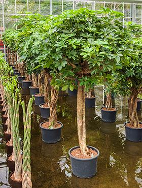 ausgefallene pflanzen rarit ten an pflanzen. Black Bedroom Furniture Sets. Home Design Ideas