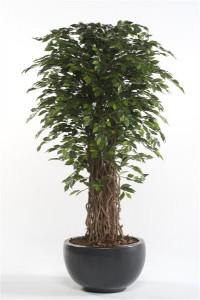 Ficus Sorten