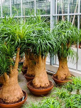 Erdpflanzen Zimmerpflanzen in großer Auswahl