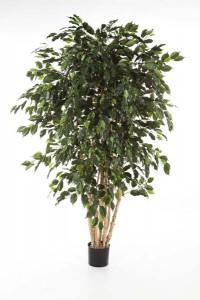 Ficus_Exotica