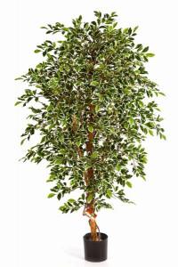 Ficus_Folia