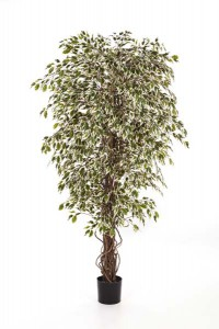 Ficus_Hawaiian Liana