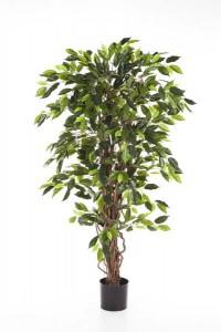 Ficus_Liana