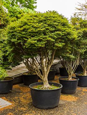 Freilandpflanzen und Mediterrane Pflanzen ab 50 cm Topfgröße