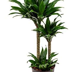 Hydrokultur Pflanzen im Kulturtopf 13 x 12 cm