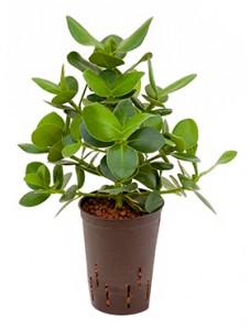 Hydrokultur Pflanzen im Kulturtopf 15 x 19 cm