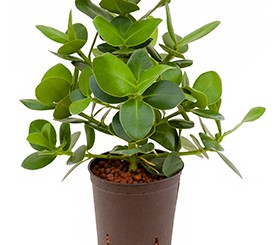 hydrokulturpflanzen archive hydrokulturen begr nungen mietpflanzen b ropflanzen. Black Bedroom Furniture Sets. Home Design Ideas