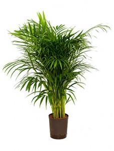 Hydrokultur Pflanzen im Kulturtopf 18 x 19 cm