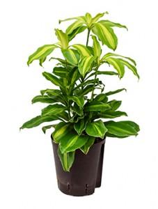 hydrokultur pflanzen im kulturtopf 18 x 19 cm hydrokulturen kaufen. Black Bedroom Furniture Sets. Home Design Ideas