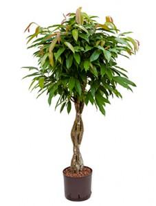 Hydrokultur Pflanzen Im Kulturtopf 22 X 19 Cm Hydrokulturen Kaufen