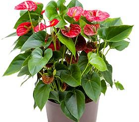 Hydrokultur Pflanzen im Kulturtopf 28 x 19 cm