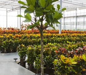 Hydrokultur Pflanzen im Kulturtopf ab RD 28 cm
