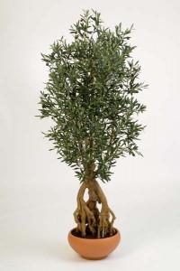 Olivenbäume 01