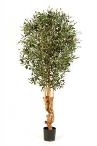 Olivenbäume 03