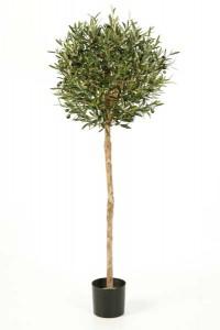 Olivenbäume 05