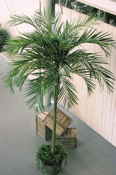 Palme Für Drinnen palme fr drinnen bei den angezeigten grad innen hat sogar vorne