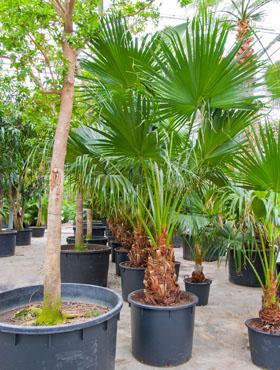 Zimmerpflanzen in Erde von G bis Z – Solitärpflanzen / Pflanzenraritäten