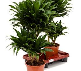 Zimmerpflanzen Erdpflanzen im Kulturtopf RD 16 bis 21 cm kaufen