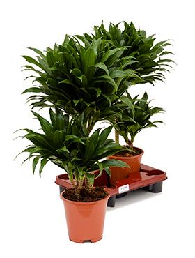 Zimmerpflanzen / Erdpflanzen im Kulturtopf RD 16 bis 21 cm kaufen