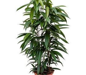 Zimmerpflanzen Erdpflanzen im Kulturtopf RD 22 bis 28 cm