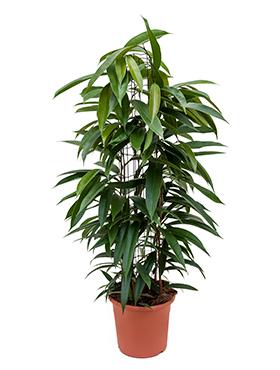 Zimmerpflanzen / Erdpflanzen im Kulturtopf RD 22 bis 28 cm kaufen