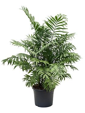 zimmerpflanzen erdpflanzen im kulturtopf rd 29 bis 34 cm kaufen. Black Bedroom Furniture Sets. Home Design Ideas