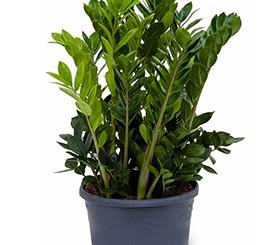 Zimmerpflanzen Erdpflanzen im Kulturtopf RD 29 bis 34 cm
