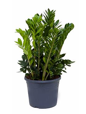Zimmerpflanzen / Erdpflanzen im Kulturtopf RD 29 bis 34 cm kaufen