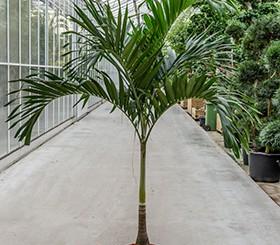 Zimmerpflanzen Erdpflanzen im Kulturtopf RD 35 bis 49 cm