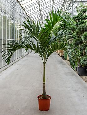 Zimmerpflanzen / Erdpflanzen im Kulturtopf RD 35 bis 49 cm kaufen