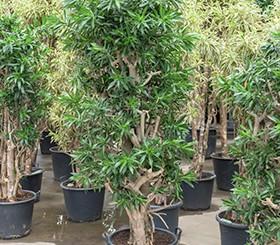 Zimmerpflanzen / Erdpflanzen im Kulturtopf ab RD 50