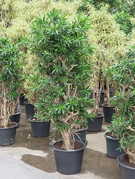 Zimmerpflanzen / Erdpflanzen im Kulturtopf ab RD 50 cm kaufen